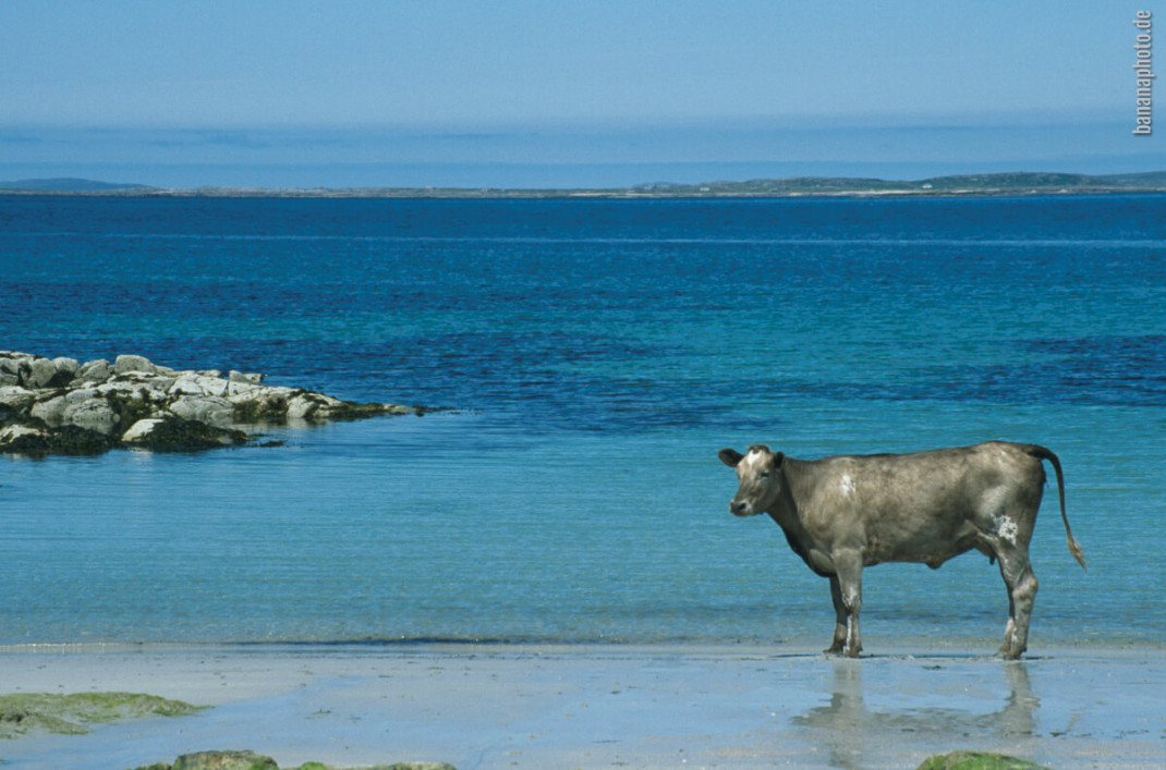 Cow & Atlantic ocean